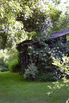 Roses, walnut tree