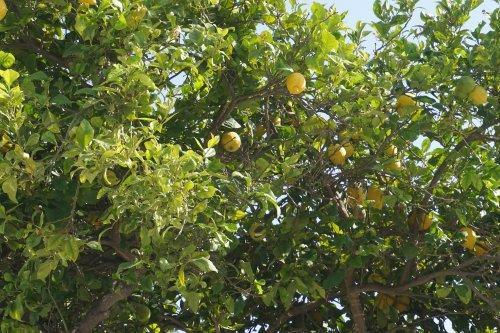 Limon tree-garden