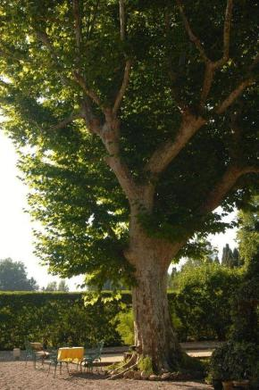 Provencal plane tree