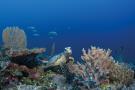 Zil Pasyon - Diving - sea turtle