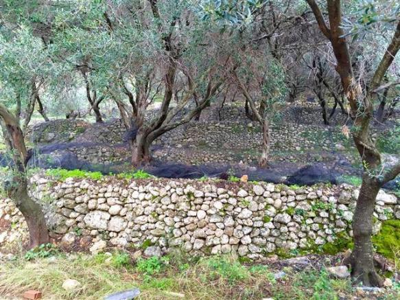 olive grove at the rear of the house