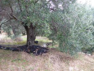 olive tree on the land