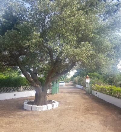 Olive tree at entran