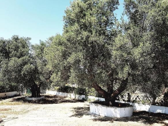 Magical olive trees