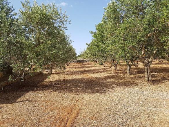 Your olive grove