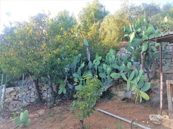 Cherry prickly pears