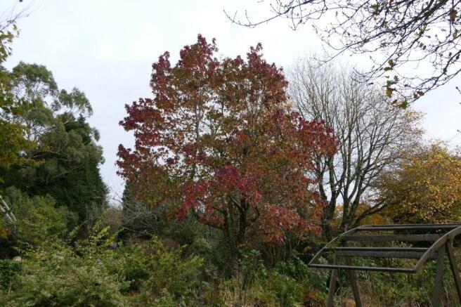 Liquidambar tree