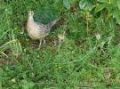 Pheasant & ch...
