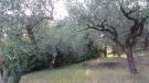 Olives in garden