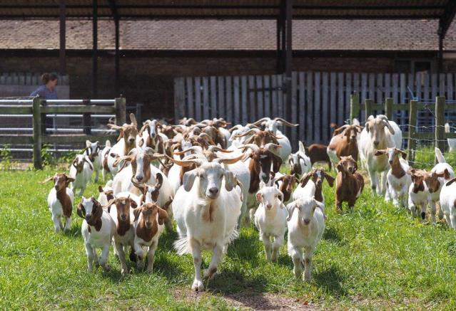 Owners Goat Herd