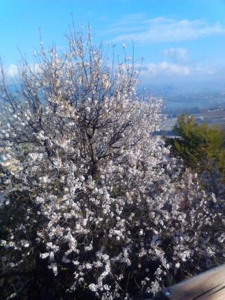 Almond blossom near