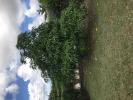 Mango in garden